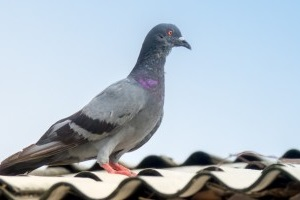 Pigeon Control, Pest Control in Yeading, UB4. Call Now 020 8166 9746