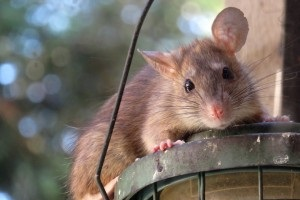 Rat Control, Pest Control in Yeading, UB4. Call Now 020 8166 9746
